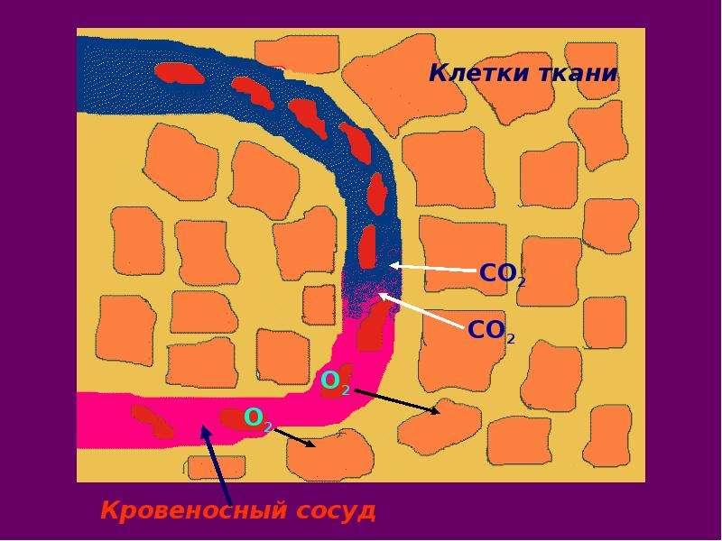 На тему Дыхательная система Зачем нашему организму кислород?, слайд 36