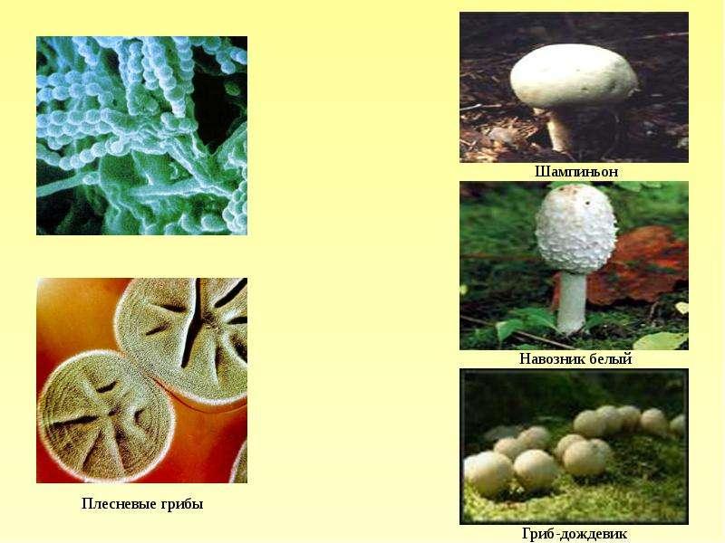 роль грибов в природе и жизни человека презентация