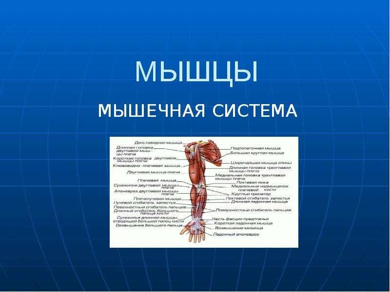 Презентация на тему мускулы общий обзор 8 класс