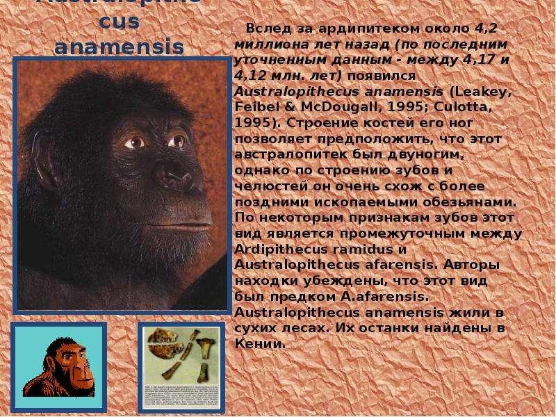 Australopithecus anamensis Вслед за ардипитеком около 4,2 миллиона лет назад (по последним уточненны