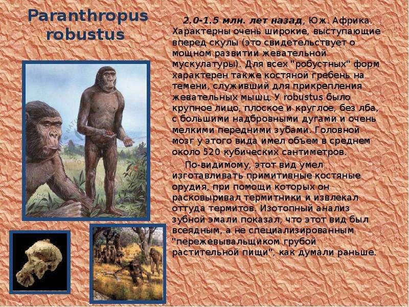 Paranthropus robustus 2. 0-1. 5 млн. лет назад, Юж. Африка. Характерны очень широкие, выступающие вп