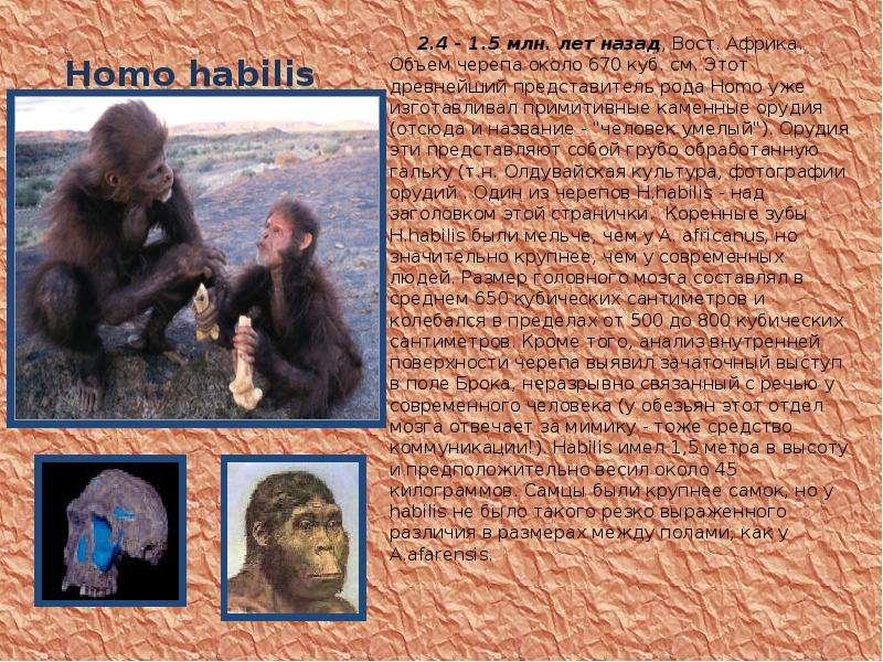 Homo habilis 2. 4 - 1. 5 млн. лет назад, Вост. Африка. Объем черепа около 670 куб. см. Этот древнейш