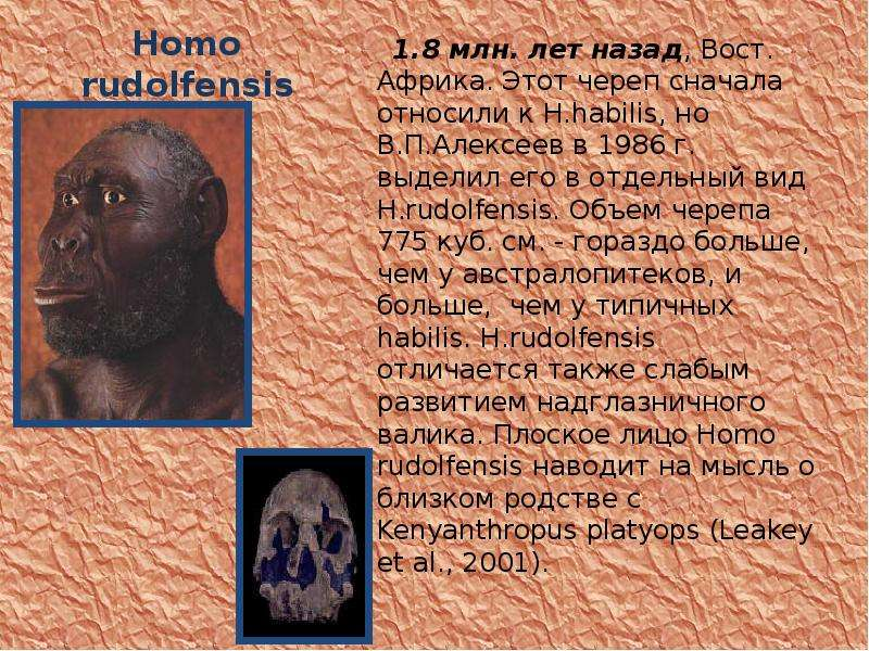 Homo rudolfensis 1. 8 млн. лет назад, Вост. Африка. Этот череп сначала относили к H. habilis, но В.