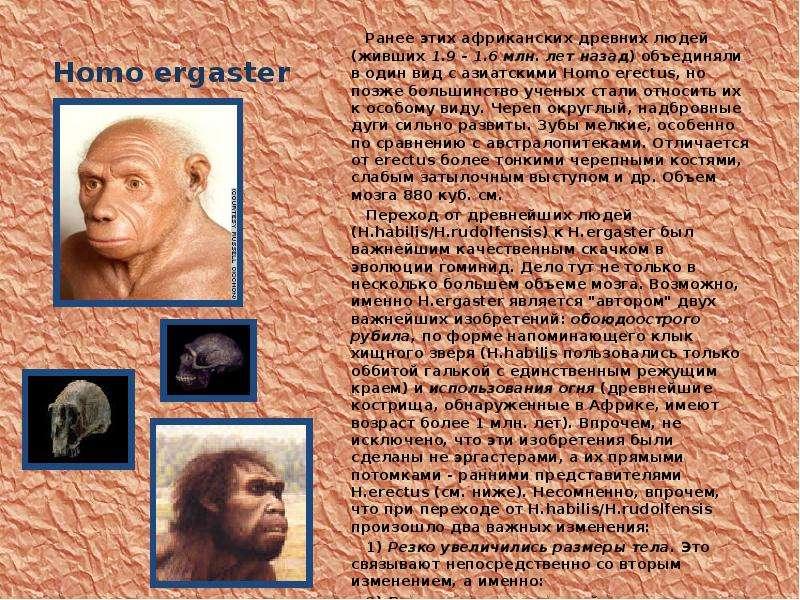 Homo ergaster Ранее этих африканских древних людей (живших 1. 9 - 1. 6 млн. лет назад) объединяли в
