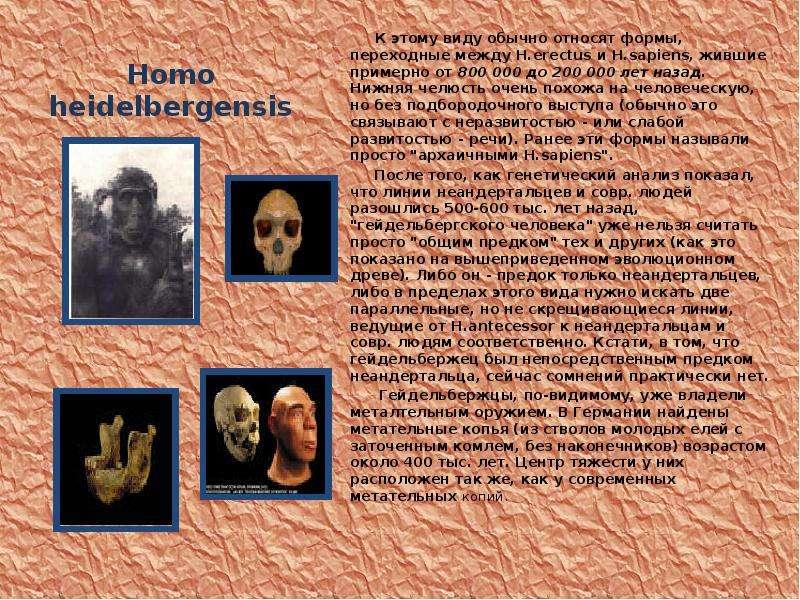 Homo heidelbergensis К этому виду обычно относят формы, переходные между H. erectus и H. sapiens, жи