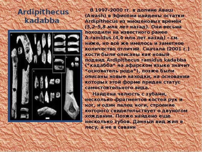 Ardipithecus kadabba В 1997-2000 гг. в долине Аваш (Awash) в Эфиопии найдены остатки Ardipithecus из