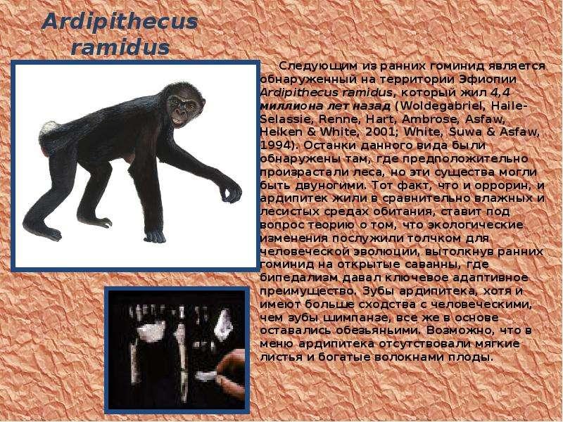 Ardipithecus ramidus Следующим из ранних гоминид является обнаруженный на территории Эфиопии Ardipit