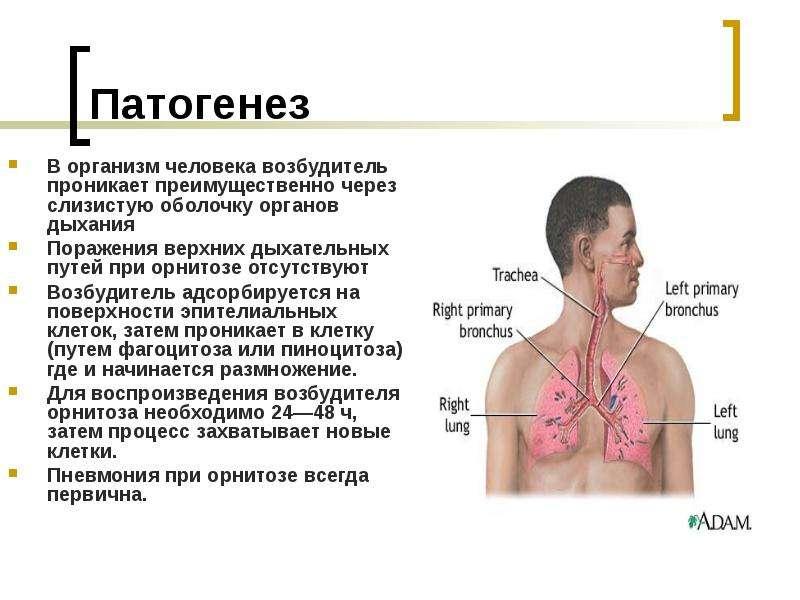Патогенез В организм человека возбудитель проникает преимущественно через слизистую оболочку органов