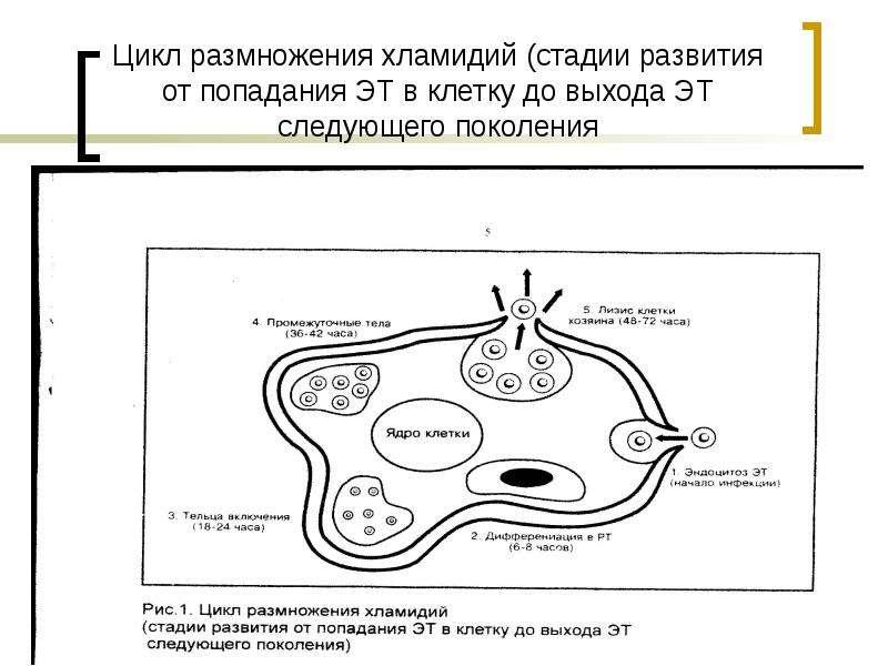 Цикл размножения хламидий (стадии развития от попадания ЭТ в клетку до выхода ЭТ следующего поколени