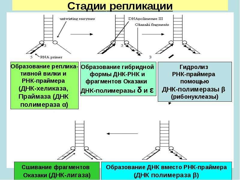 realizatsiya-geneticheskoy-informatsii-replikatsiya-transkriptsiya-translyatsiya
