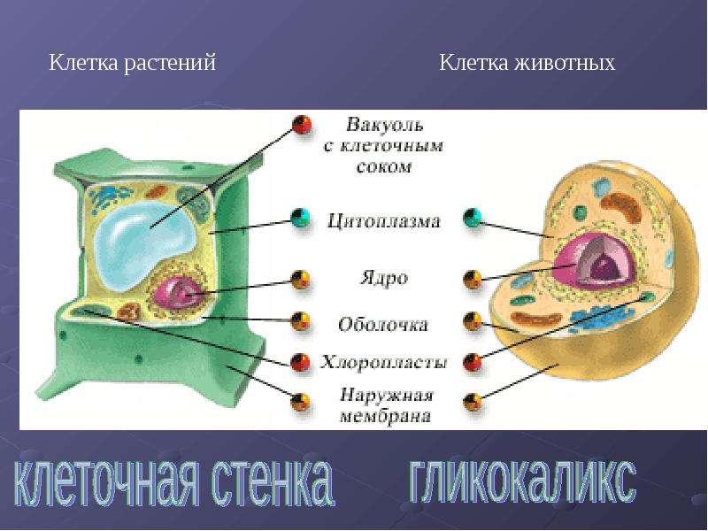Макет строения клетки своими руками из пластилина