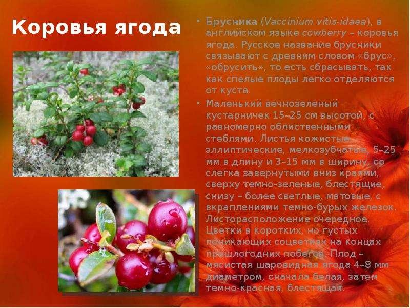 будет брусника ягода фото и описание помады очень