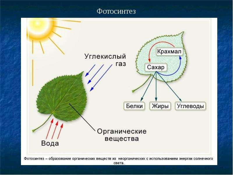 они какова роль воды в процессе фотосинтеза постояльцев