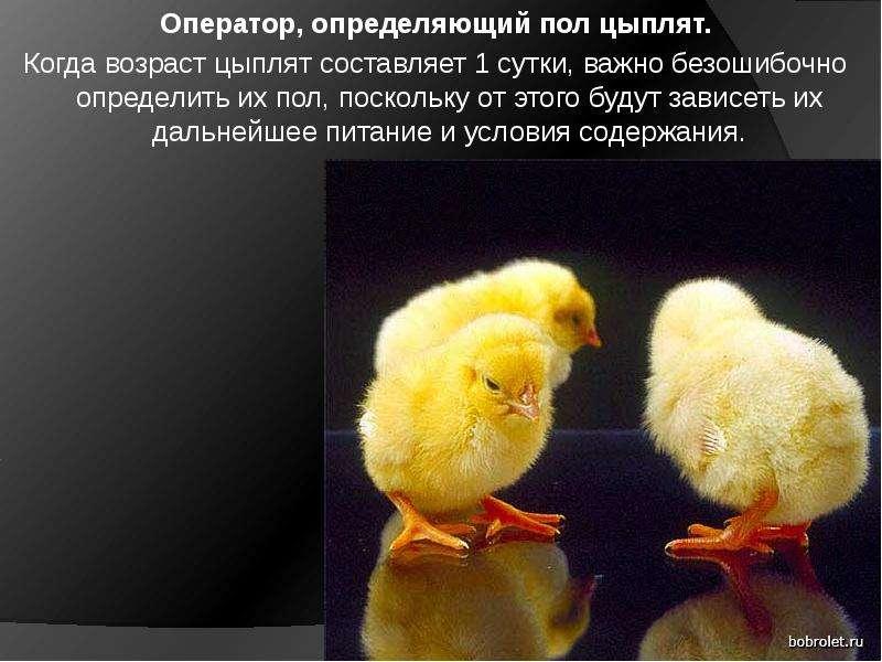 Оператор, определяющий пол цыплят. Когда возраст цыплят составляет 1 сутки, важно безошибочно опреде