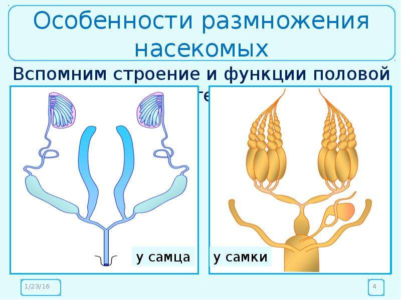 Особенности размножения насекомых Вспомним строение и функции половой системы