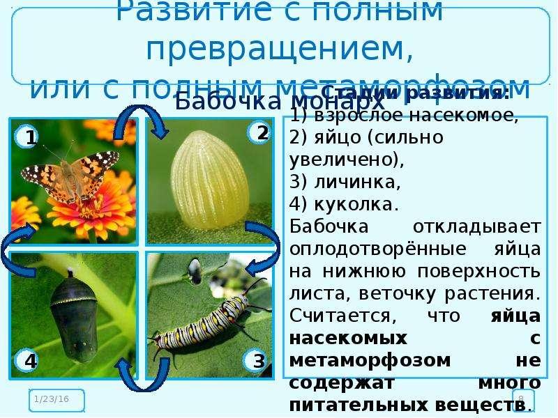 Развитие с полным превращением, или с полным метаморфозом Бабочка монарх