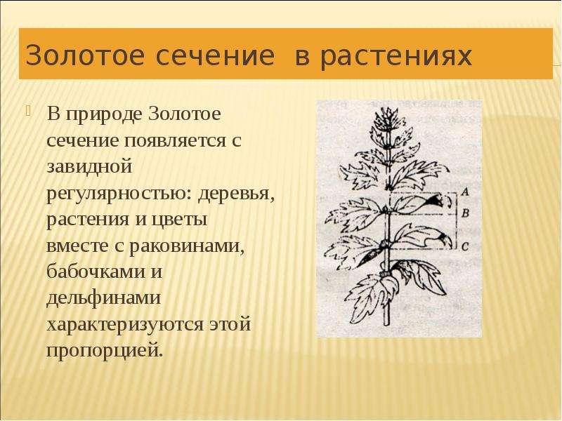 Золотое сечение в растениях В природе Золотое сечение появляется с завидной регулярностью: деревья,