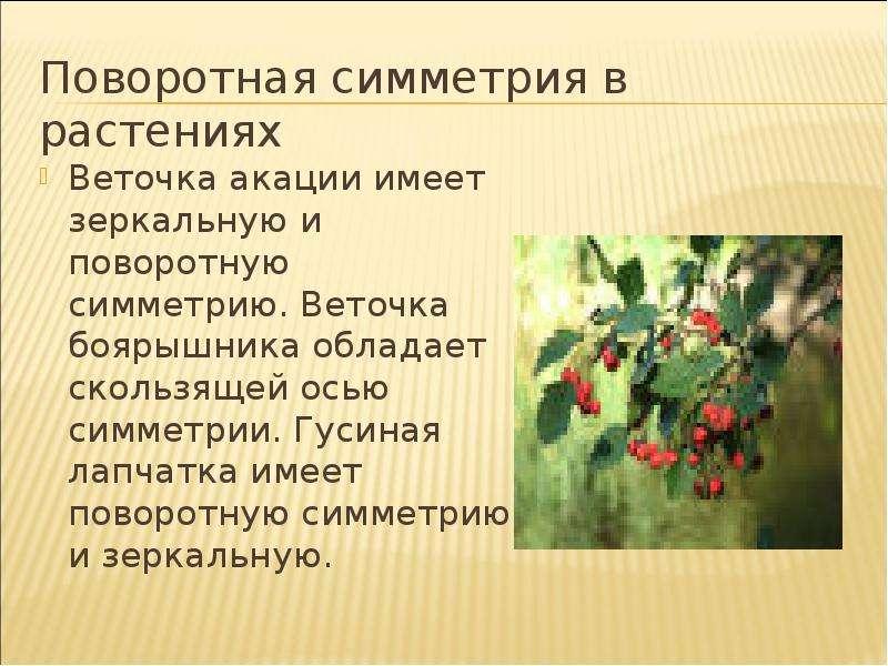 Поворотная симметрия в растениях Веточка акации имеет зеркальную и поворотную симметрию. Веточка боя