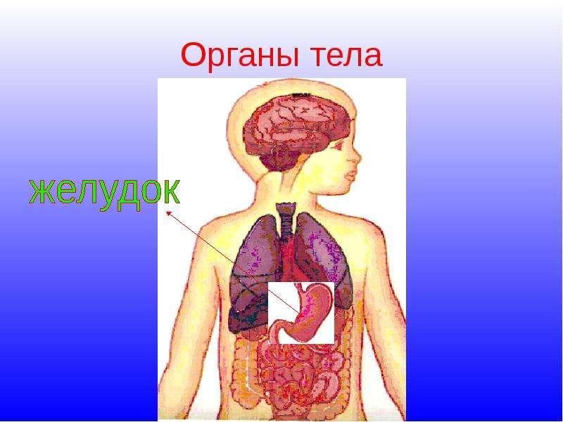 Как сделать органы человека