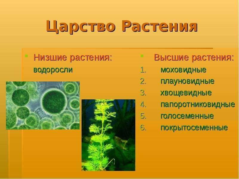 Зеленые водоросли фото с названиями