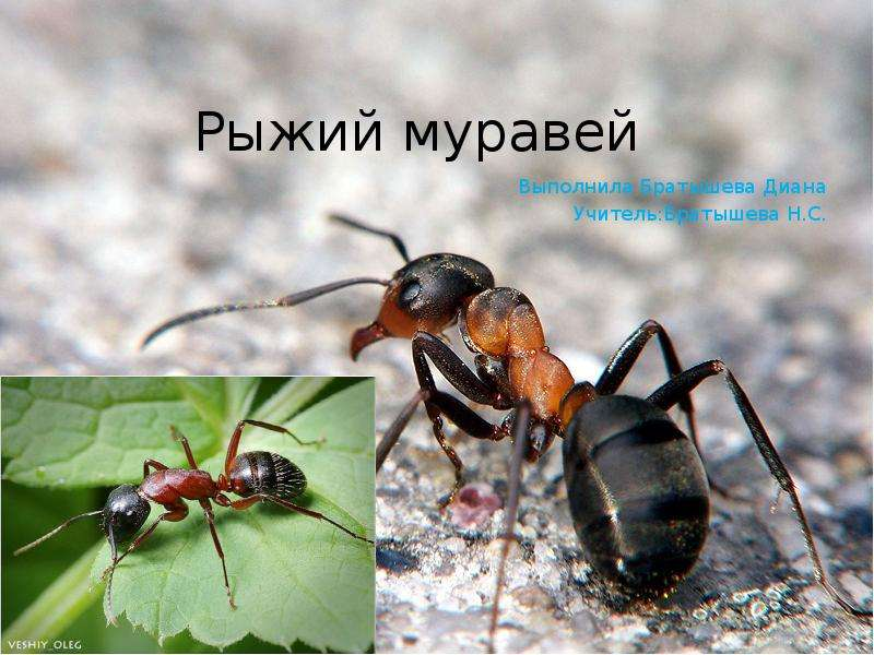 Картинки муравей для проекта все картинки