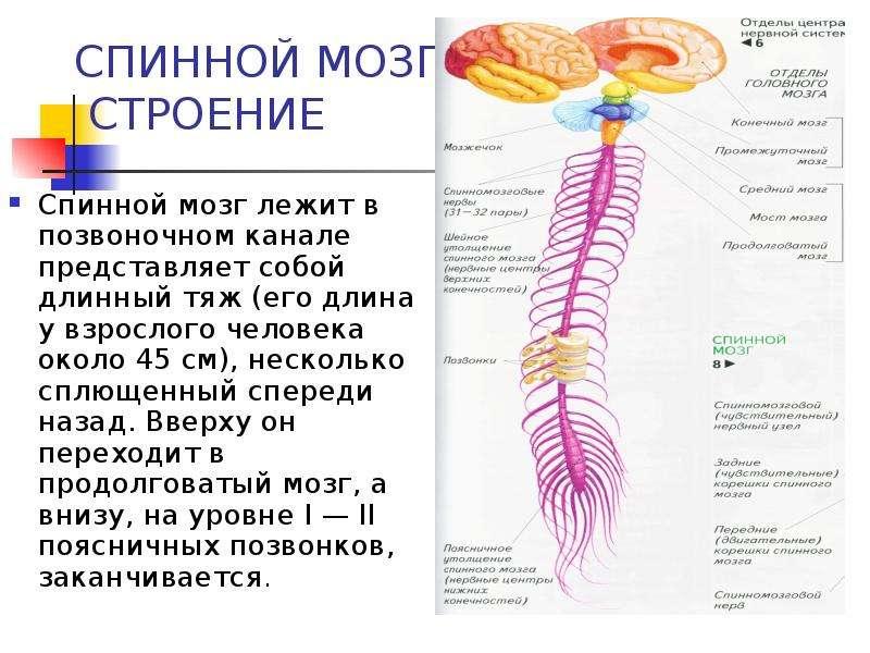 Презентация СПИННОЙ МОЗГ. СТРОЕНИЕ Спинной мозг лежит в позвоночном канале представляет собой длинный тяж (его длина у взрослого человека око
