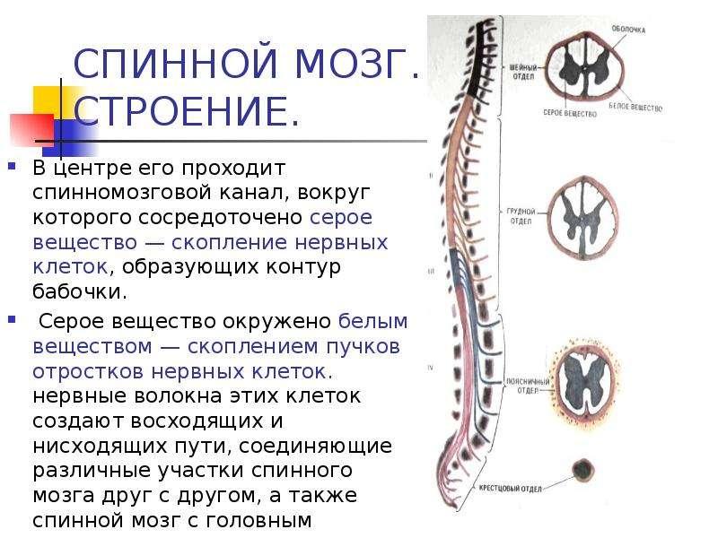 СПИННОЙ МОЗГ. СТРОЕНИЕ. В центре его проходит спинномозговой канал, вокруг которого сосредоточено се