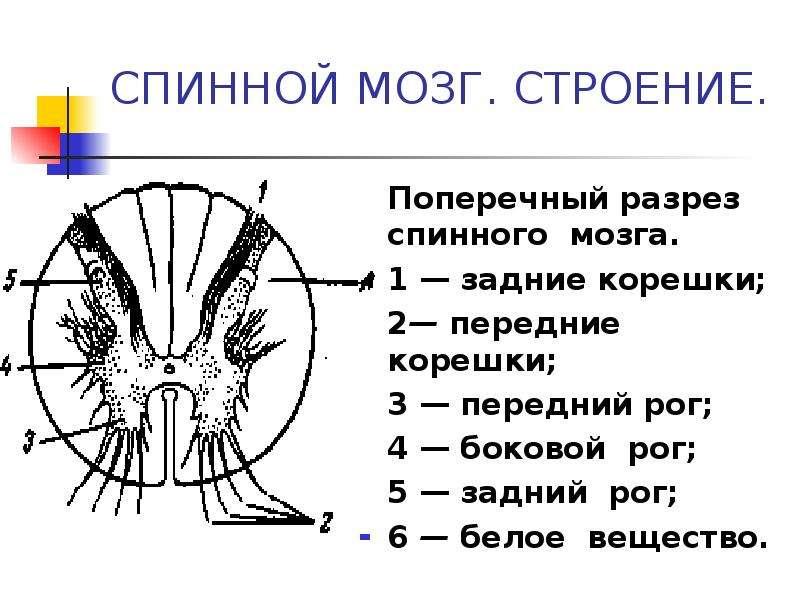 СПИННОЙ МОЗГ. СТРОЕНИЕ. Поперечный разрез спинного мозга. 1 — задние корешки; 2— передние корешки; 3