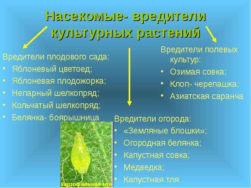 Насекомые- вредители культурных растений Вредители огорода: «Земляные блошки»; Огородная белянка; Ка