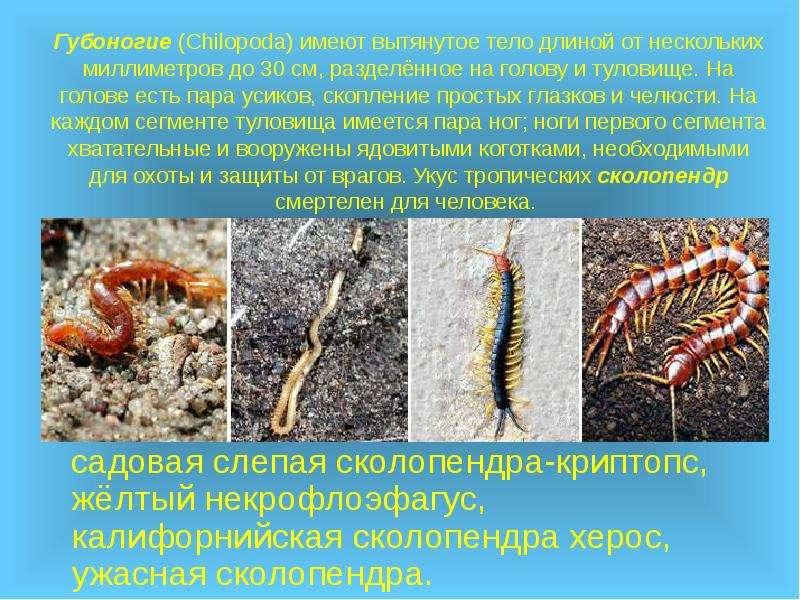 Губоногие (Chilopoda) имеют вытянутое тело длиной от нескольких миллиметров до 30 см, разделённое на