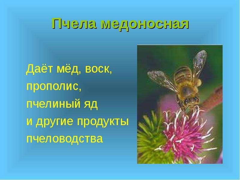 Пчела медоносная Даёт мёд, воск, прополис, пчелиный яд и другие продукты пчеловодства