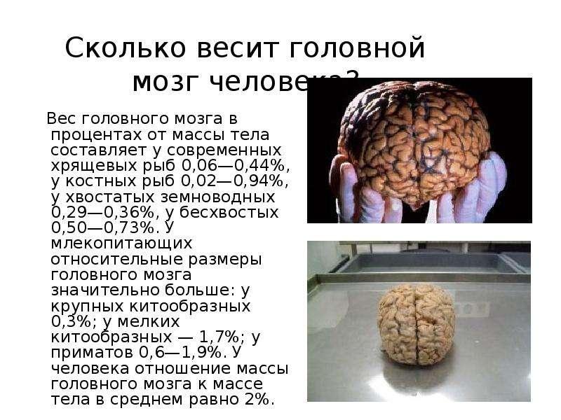 Процент мозга в теле