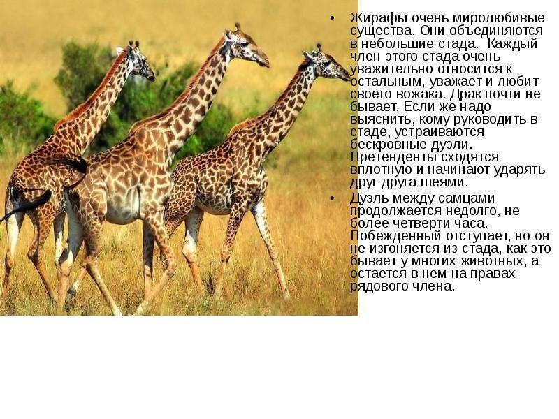 энциклопедия животные жираф внешний вид