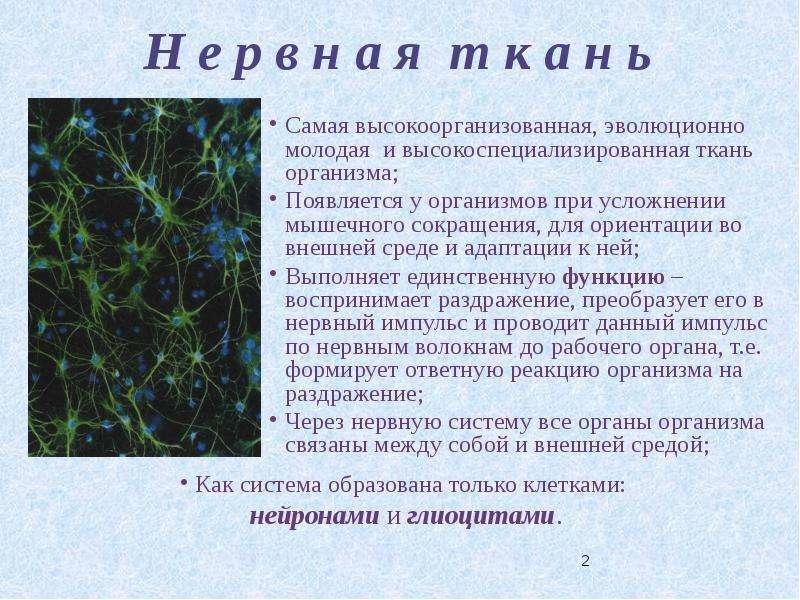 Участок Нервного Волокна Между Соседними Перехватами Ранвье