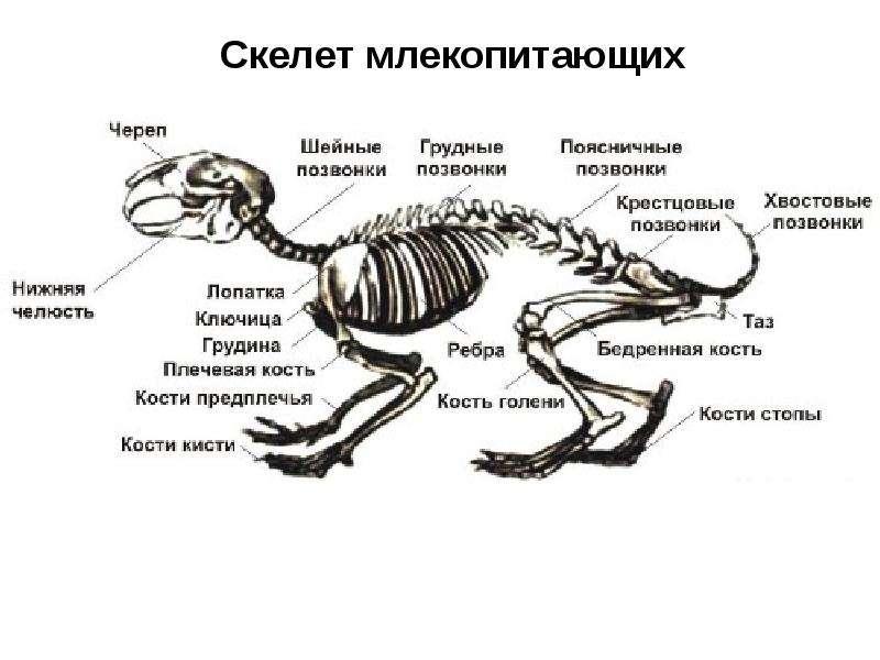 если погодные рассмотрите рисунок напишите названия костей скелета млекопитающих сохраняют ноги