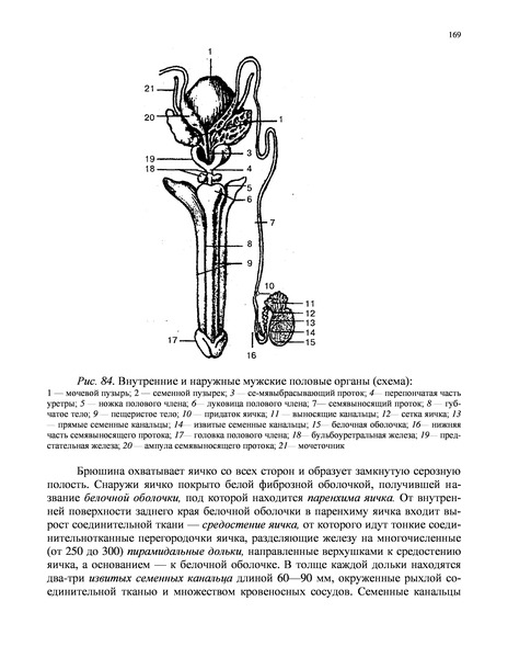Схема строения извитого семенного канальца