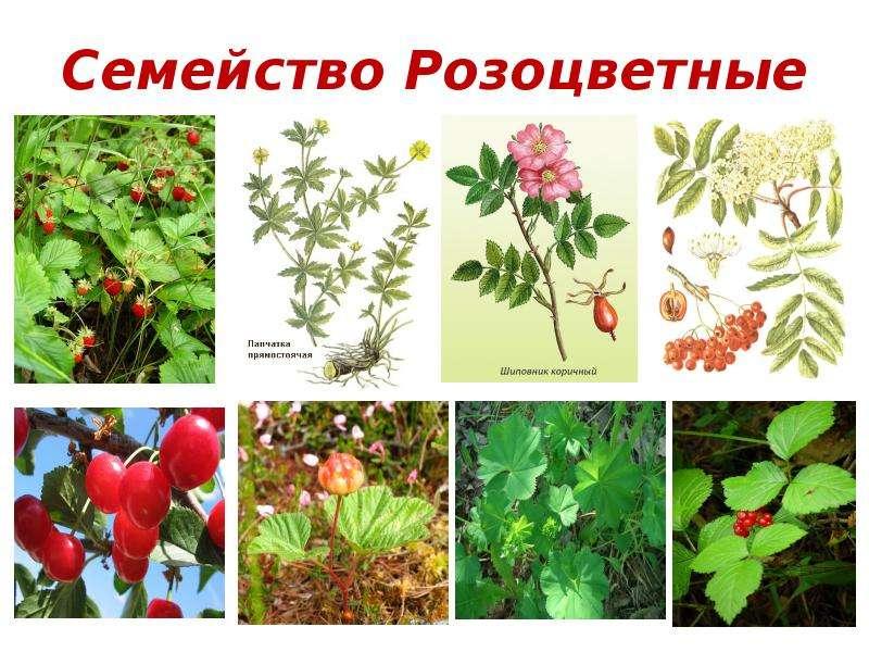 Презентация о розоцветных