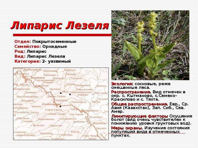 Липарис Лезеля Отдел: Покрытосеменные Семейство: Орхидные Род: Липарис Вид: Липарис Лезеля Категория