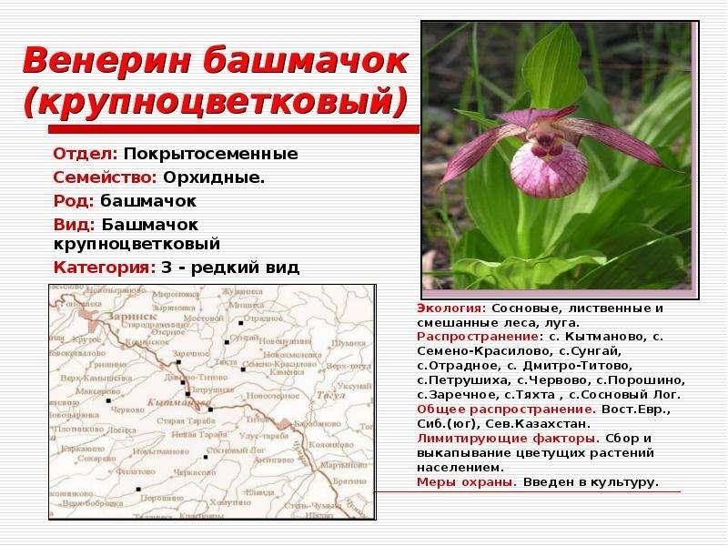 Венерин башмачок (крупноцветковый) Отдел: Покрытосеменные Семейство: Орхидные. Род: башмачок Вид: Ба