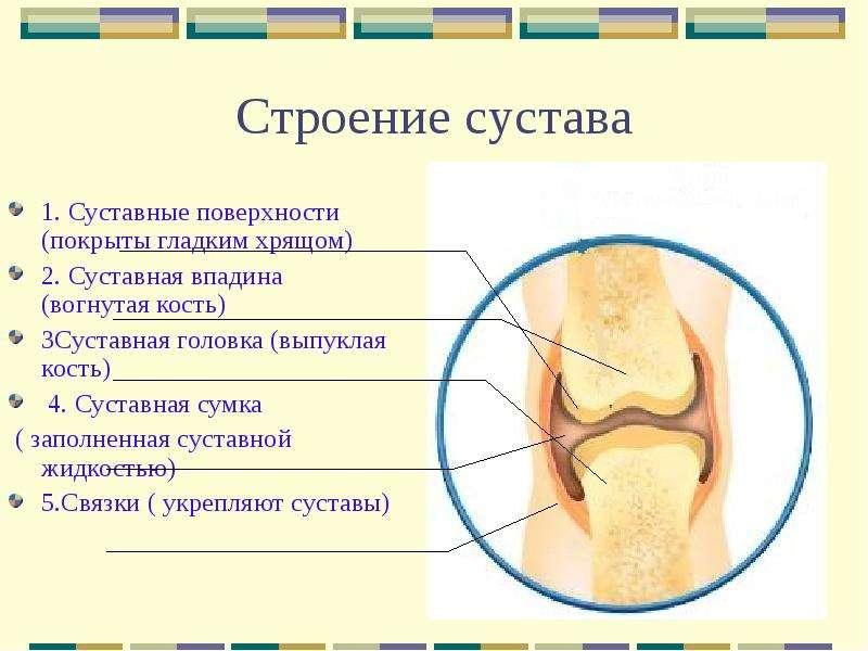 вопросы по анатомии одноосные суставы