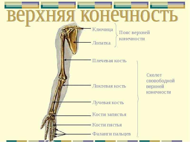 отделы суставы нижней конечности
