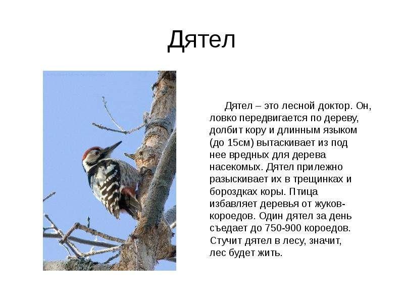 Дятел Дятел – это лесной доктор. Он, ловко передвигается по дереву, долбит кору и длинным языком (до