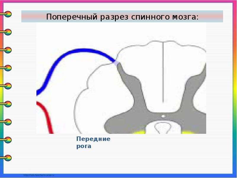 Презентация на тему спинной мозг строение и функции