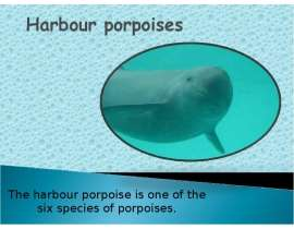 The harbour porpoise is one of the six species of porpoises.