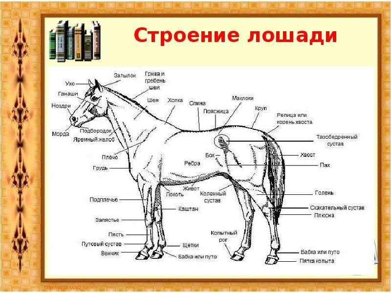 скакательный сустав у лошадей находится между