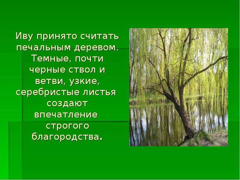 Иву принято считать печальным деревом. Темные, почти черные ствол и ветви, узкие, серебристые листья