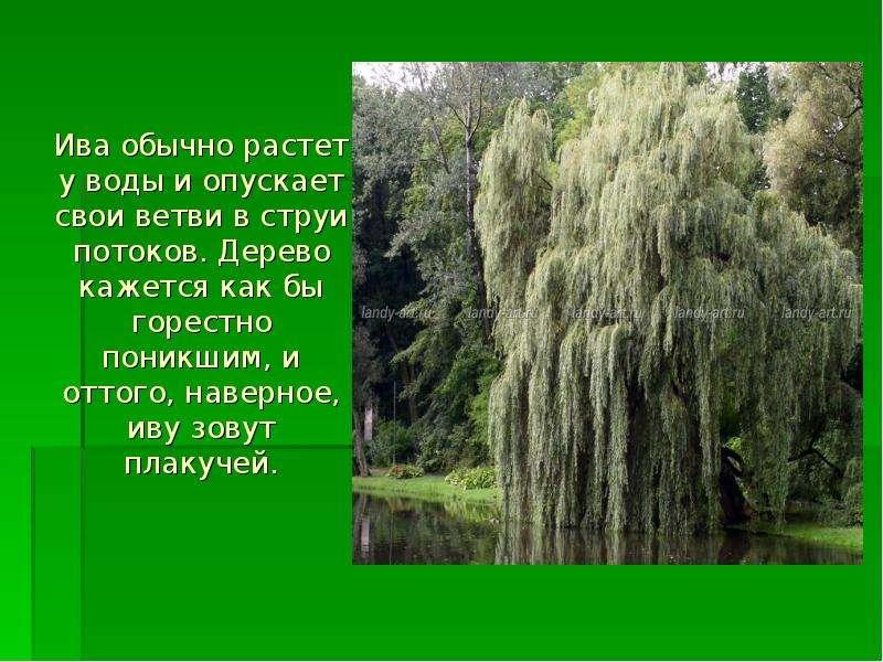 Ива обычно растет у воды и опускает свои ветви в струи потоков. Дерево кажется как бы горестно поник