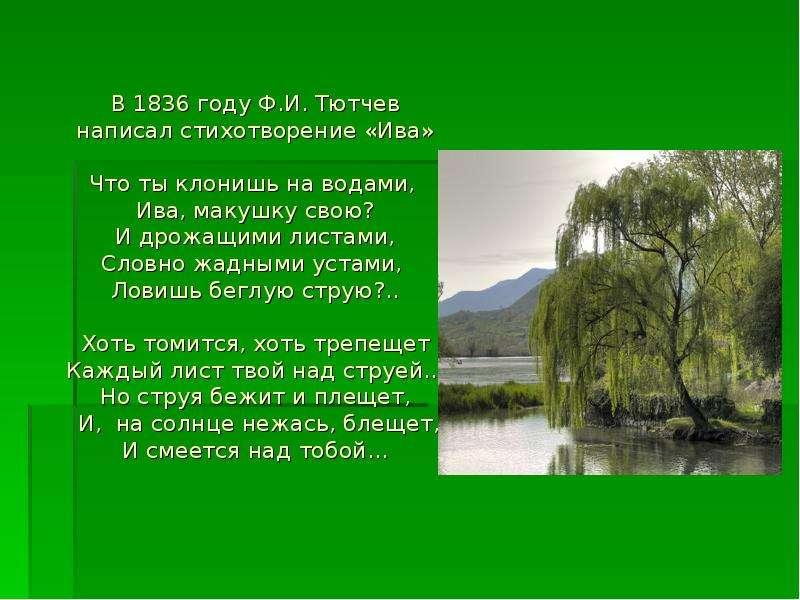 В 1836 году Ф. И. Тютчев написал стихотворение «Ива» Что ты клонишь на водами, Ива, макушку свою? И