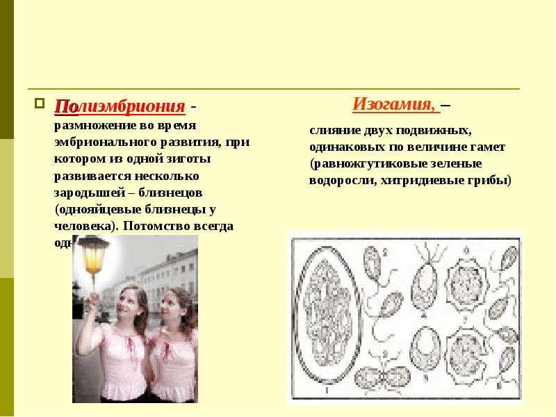 Полиэмбриония - размножение во время эмбрионального развития, при котором из одной зиготы развиваетс