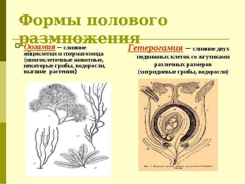 Формы полового размножения Оогамия – слияние яйцеклетки и сперматозоида (многоклеточные животные, не